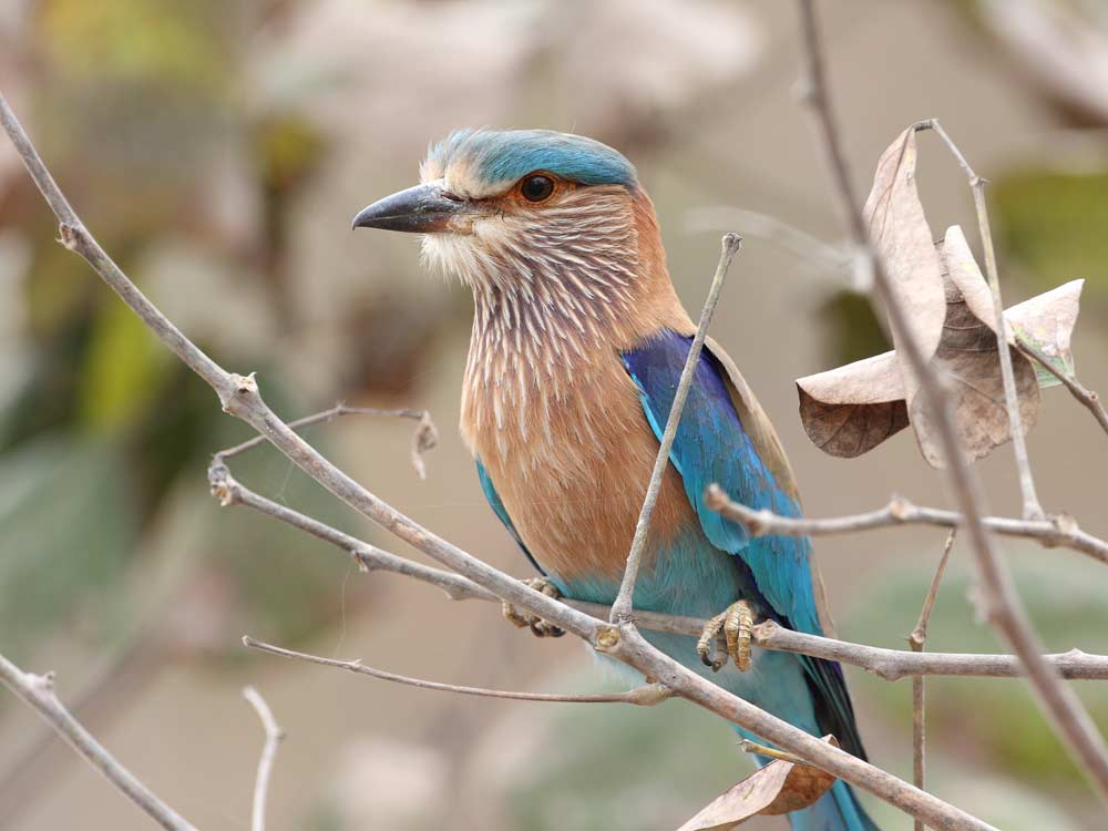 Indian Roller © C Bradshaw