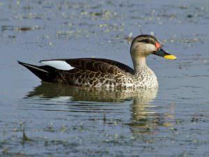Indian Spot-billed Duck © T Lawson