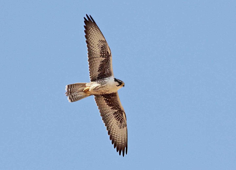 Laggar Falcon Desert National Park © R F Porter
