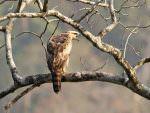 Legge's Hawk Eagle © R Wasley