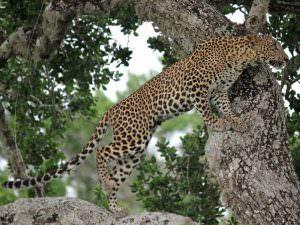 Leopard © M O'Dell
