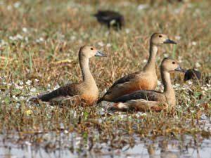 Lesser Whistling-duck © C Bradshaw