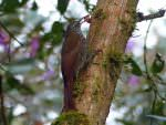 Montane Woodcreeper © D Bridges