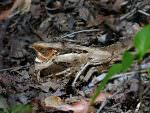 Large-tailed Nightjar © K Barnes
