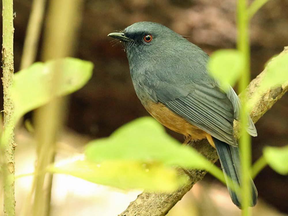 Nilgiri Blue Robin © R Wasley