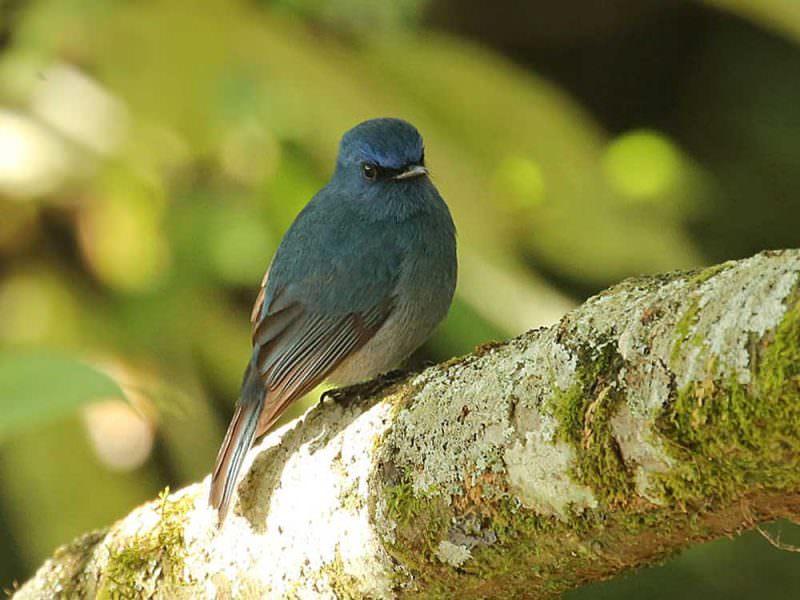 Nilgiri Flycatcher © R Wasley