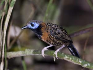 Ocellated Antbird © D Tipling