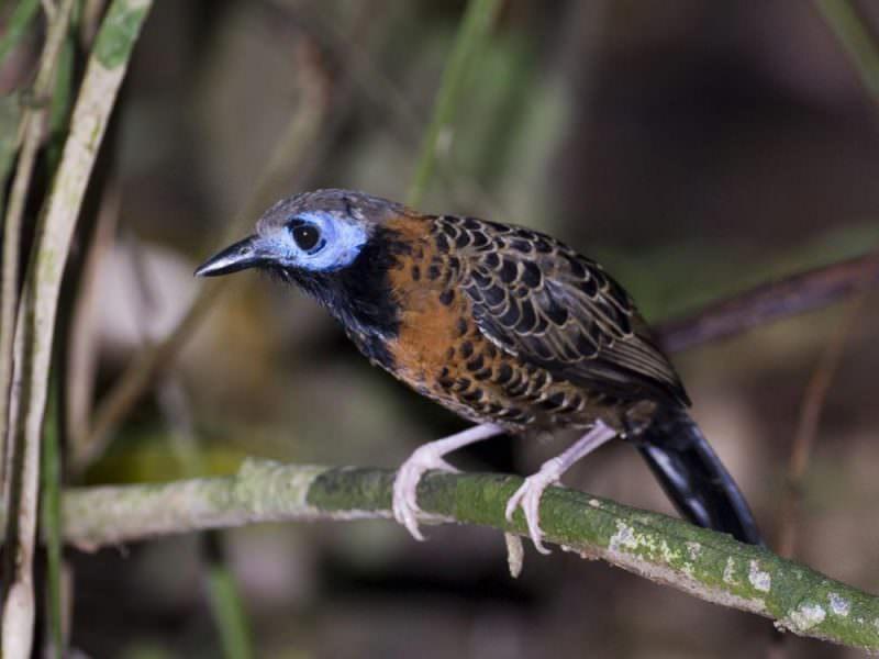 Ocellated Antbird © D Tipling