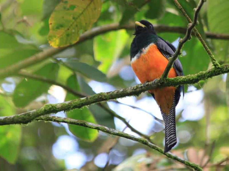 Orange-bellied Trogon © M O'Dell