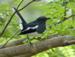Oriental Magpie Robin © C Kitchin