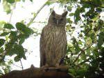 Dusky Eagle Owl © J Dale
