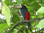 Pale-mandibled Aracari © D Bridges