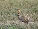 Pin-tailed Sandgrouse, Petrola © J Sykes