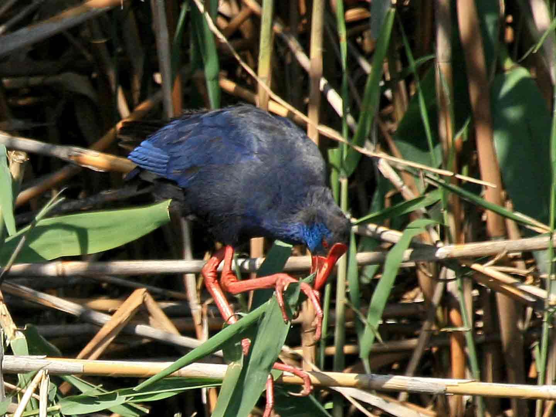 Purple Swamp-hen, Pego © J Sykes