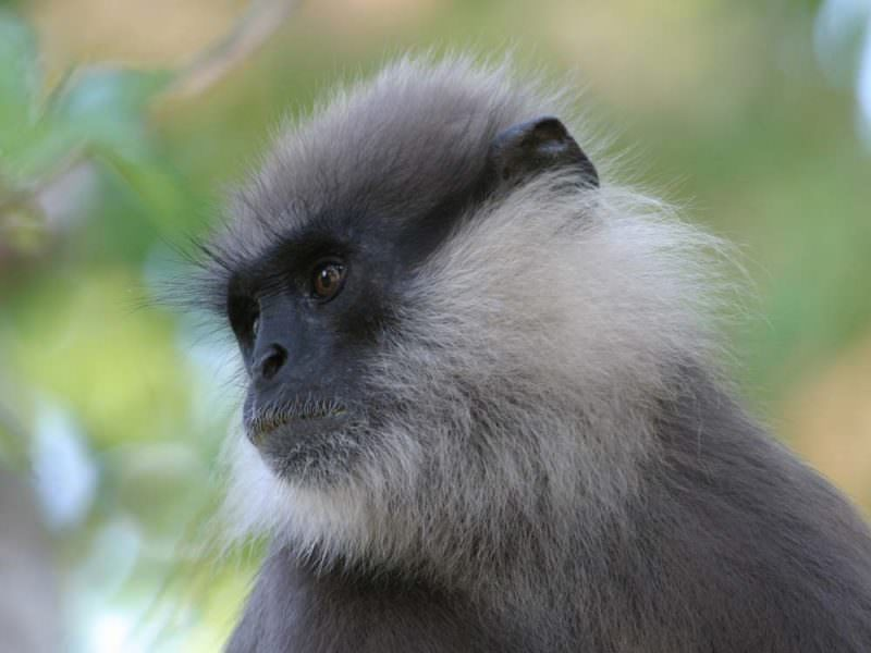 Purple-faced Leaf Monkey © G de Silva Wijeyeratne