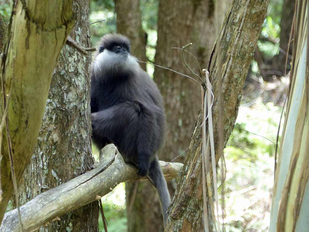 Purple-faced Leaf Monkey highland race on a sri lanka mammal watching tour
