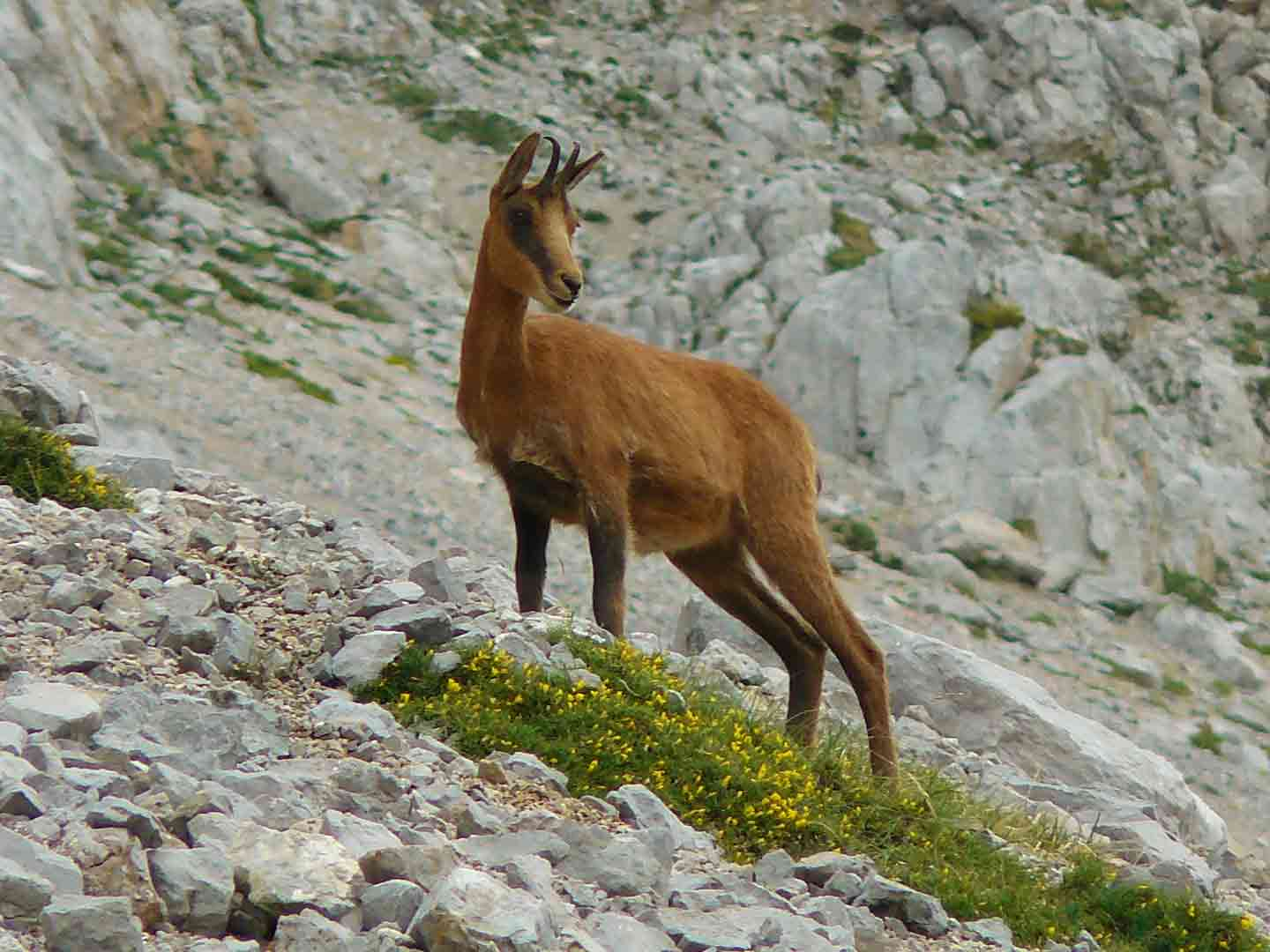 Rebeco or Southern Chamois © J Sykes