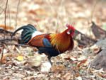 Red Junglefowl © C Bradshaw