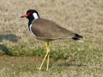 Red-wattled Lapwing © T Lawson