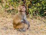 Rhesus Macaque youngster © P Clarke