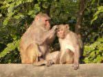 Rhesus Macaques © K Claydon