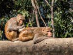 Rhesus Macaques © P Clarke