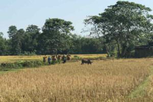 Rice fields Kakoijana Community Reserve Forest © J Thomas
