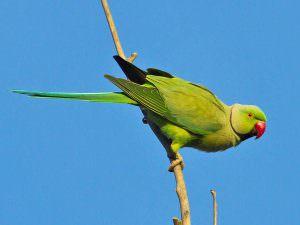 Rose-ringed Parakeet © T Lawson