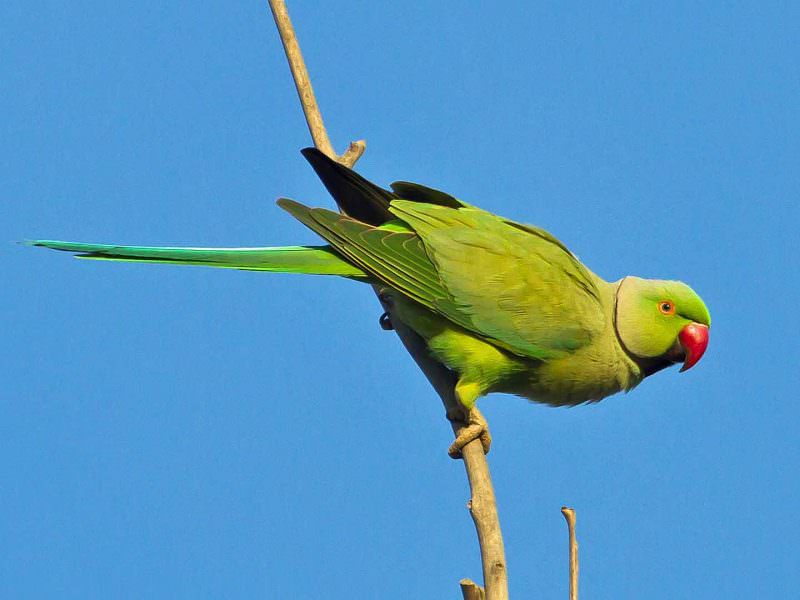 Rose-ringed Parakeet © T Lawson