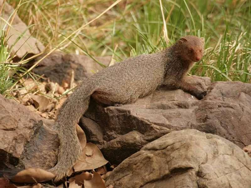 Ruddy Mongoose © J Thomas