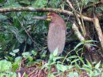 Rufescent Tiger Heron © D Bridges