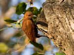 Rufous Woodpecker © J Bridges