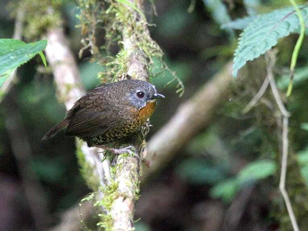 Rufous-throated Wren Babbler © P Lobo
