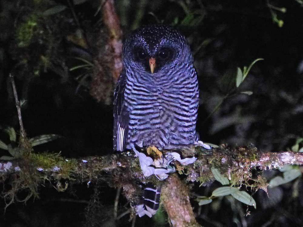 San Isidro Owl © D Bridges