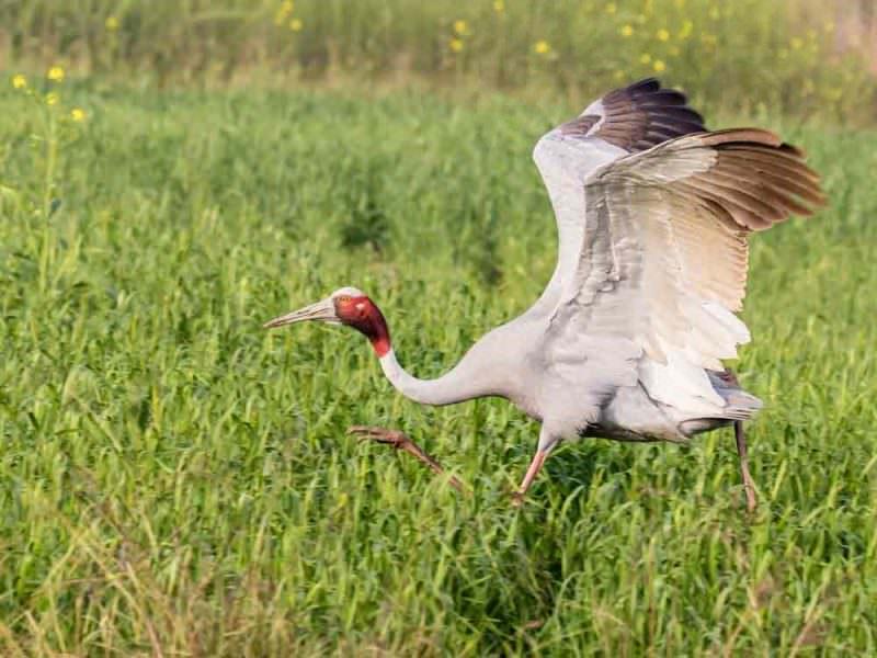Sarus Crane © P Clarke