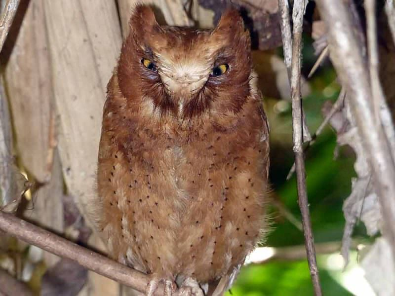 Serendib Scops Owl © C Kitchin