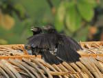 Smoot-billed Ani © K Barnes