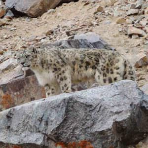 Snow Leopard in village © N Robinson