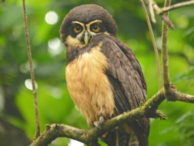 Spectacled Owl © R Knott