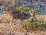 Spotted Deer © D Blakeley