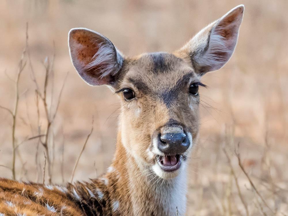 Spotted Deer © P Clarke