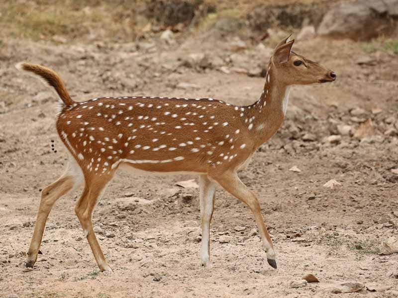 Spotted Deer © R Wasley