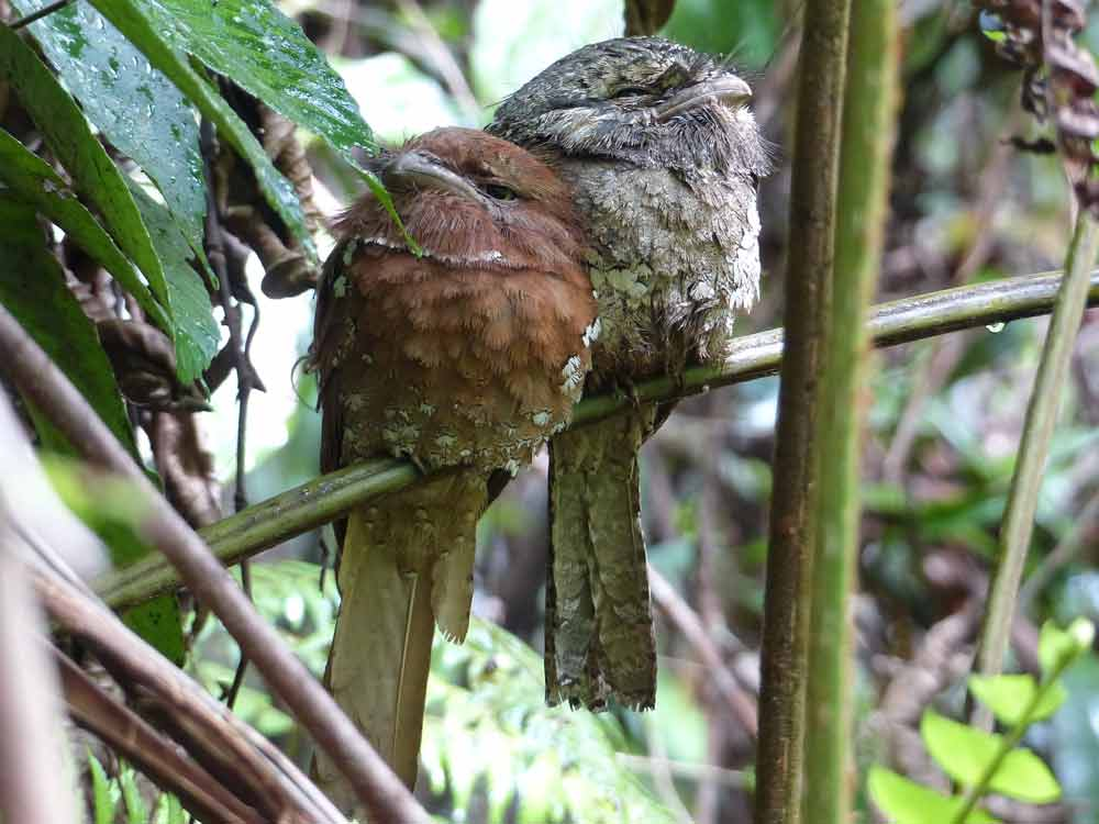 Sri Lanka Frogmouth male and female © C Kitchin