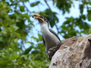 Sri Lanka Grey Hornbill © C Kitchin