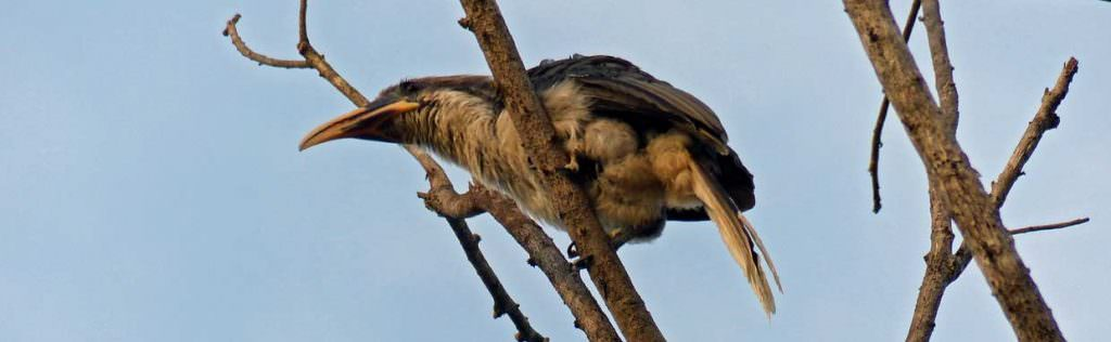 Sri Lanka Grey Hornbill on Sri Lanka endemic birding tour