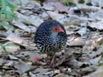 Sri Lanka Spurfowl © D Blakeley
