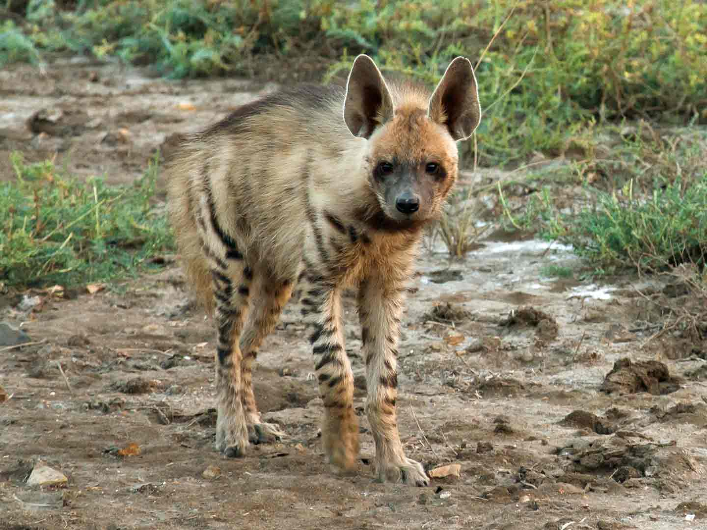 Striped Hyena Velavadar National Park © G Dean