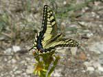 Swallowtail, Pego Marsh © J Sykes