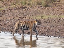 Bengal Tiger at Tadoba © J Dale.