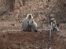 Grey Langurs at Tadoba © J Dale.